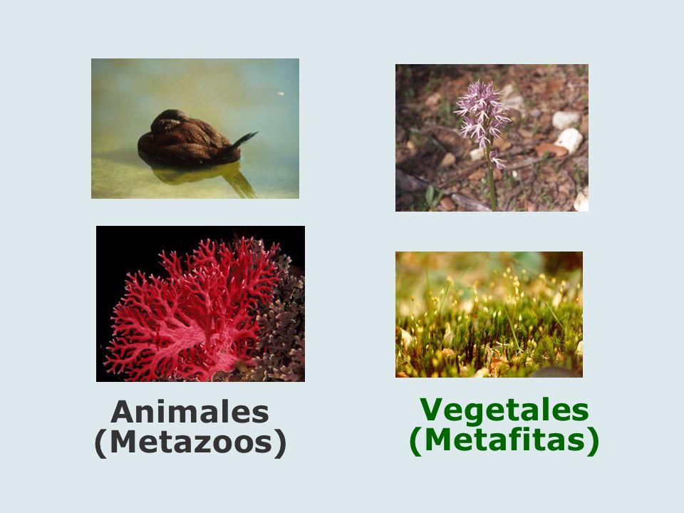 Vegetales (Metafitas)