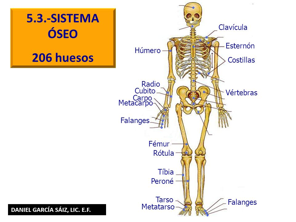 5.3.-SISTEMA ÓSEO 206 huesos Clavícula Esternón Húmero Costillas Radio