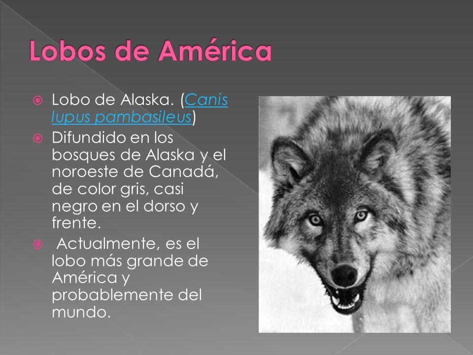 Lobos de América Lobo de Alaska. (Canis lupus pambasileus)