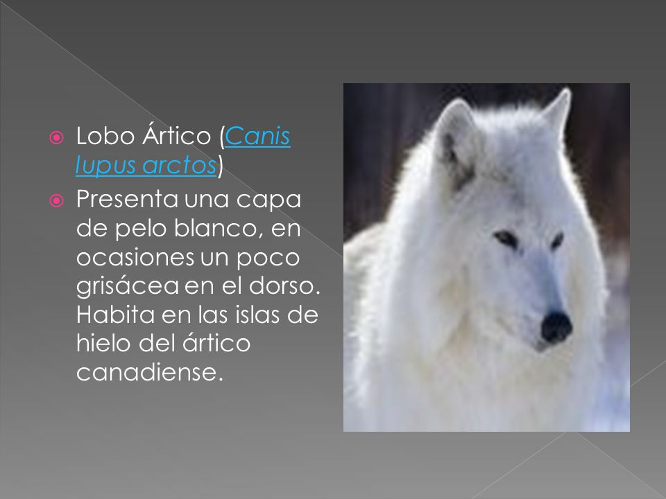 Lobo Ártico (Canis lupus arctos)
