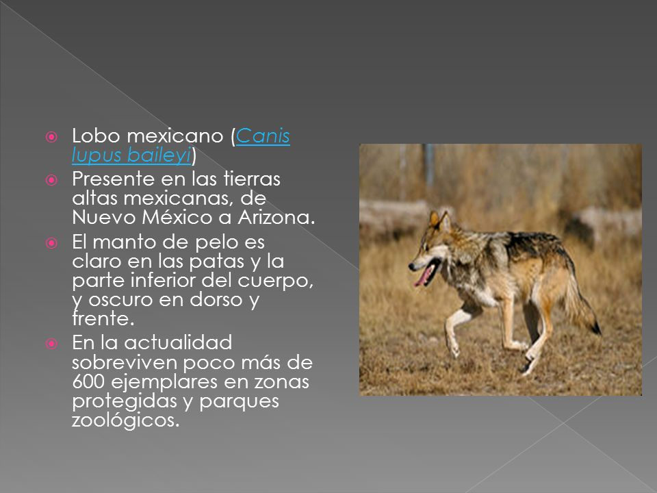 Lobo mexicano (Canis lupus baileyi)