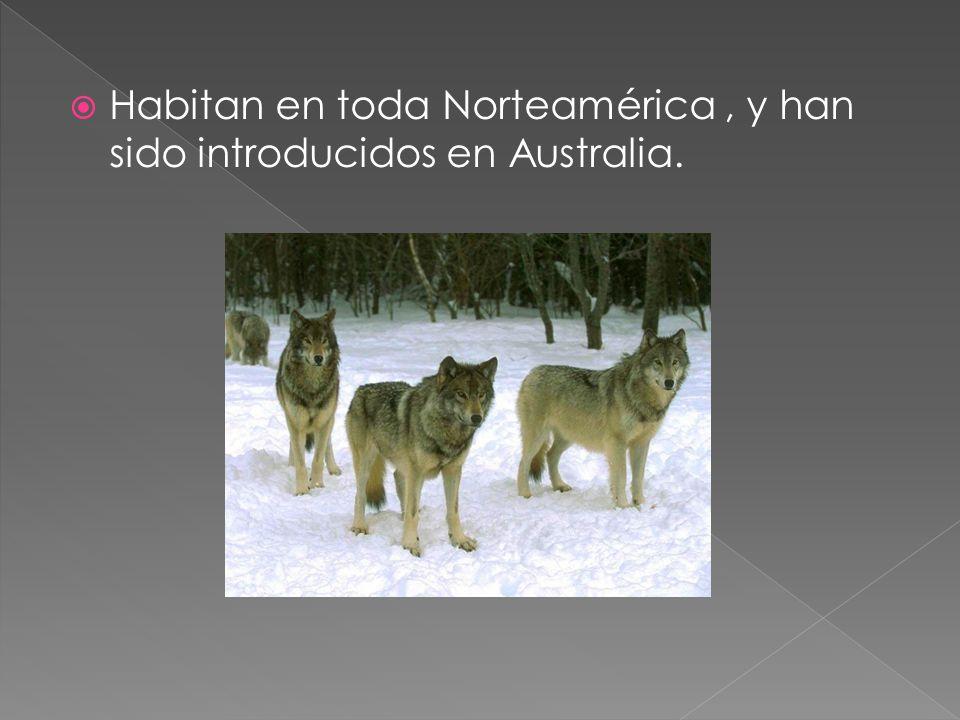 Habitan en toda Norteamérica , y han sido introducidos en Australia.