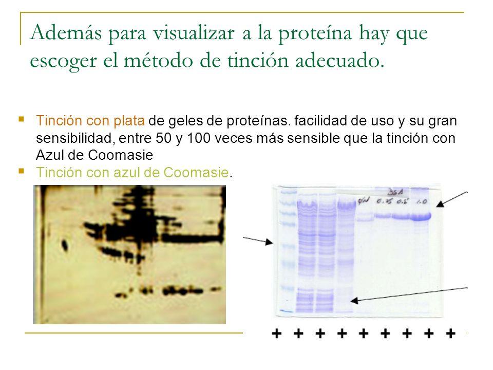 Además para visualizar a la proteína hay que escoger el método de tinción adecuado.