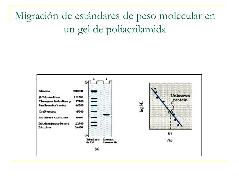 Migración de estándares de peso molecular en un gel de poliacrilamida