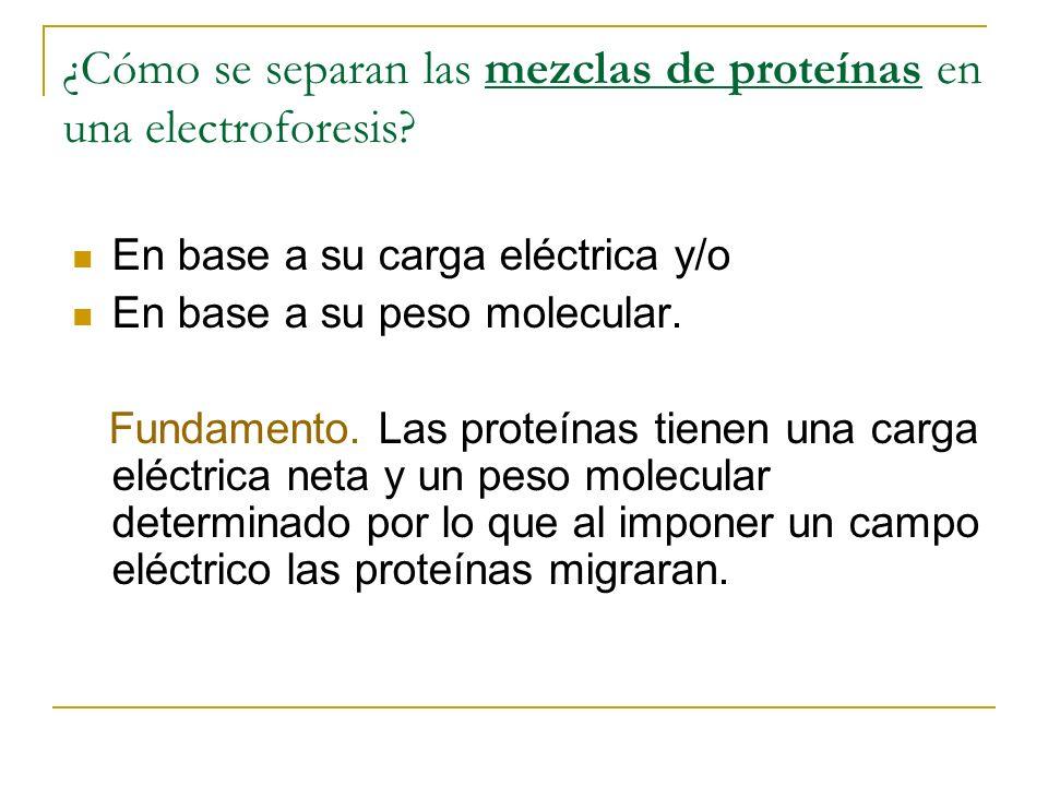 ¿Cómo se separan las mezclas de proteínas en una electroforesis