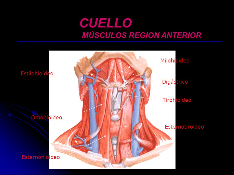 Dr marlon burbano hurtado md ortopedista ppt video for Esternohioideo y esternotiroideo