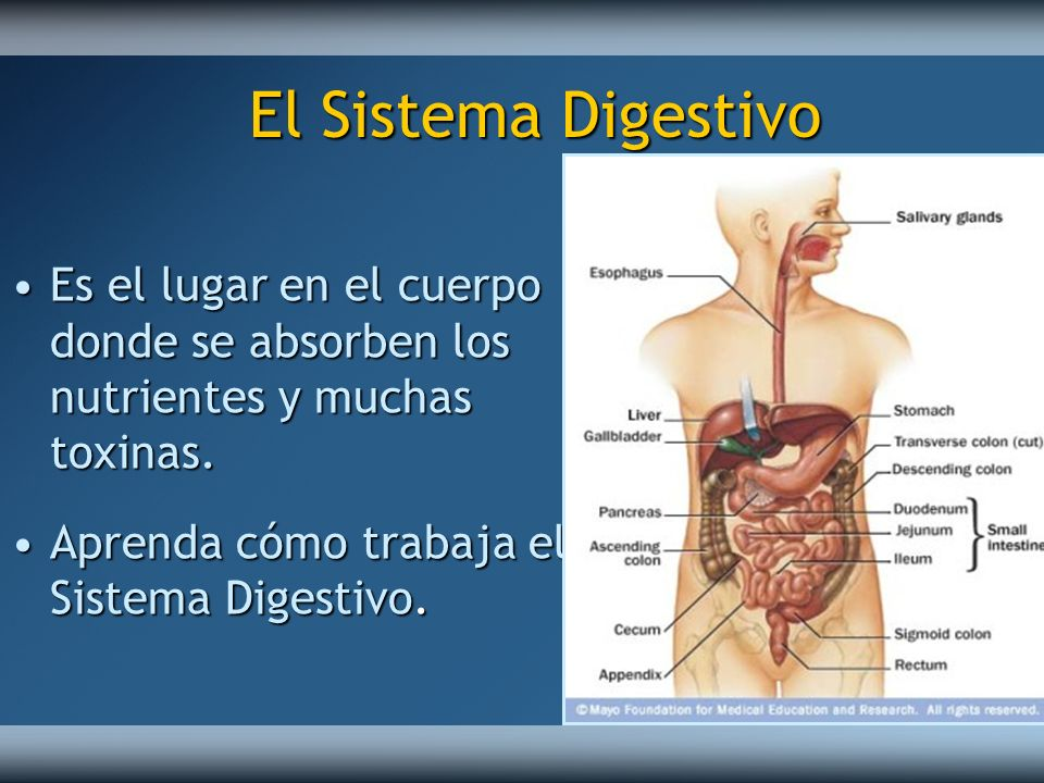 El Sistema Digestivo Es el lugar en el cuerpo donde se absorben los nutrientes y muchas toxinas.