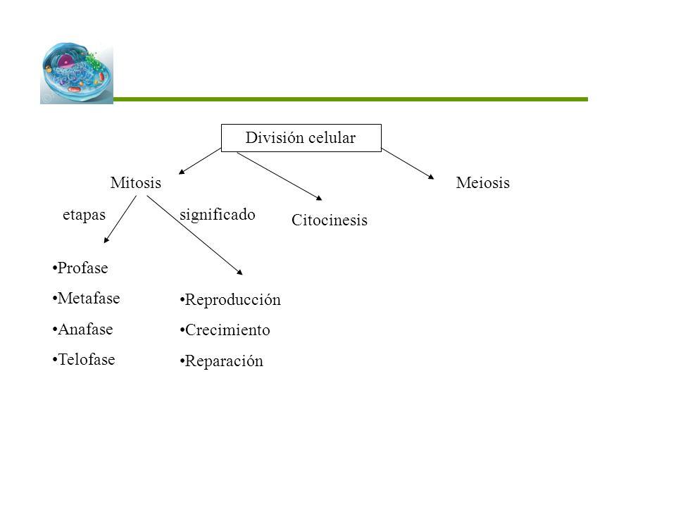 División celular Mitosis. Meiosis. etapas. significado. Citocinesis. Profase. Metafase. Anafase.