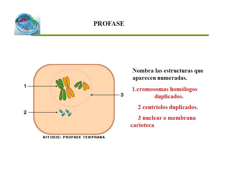 PROFASE Nombra las estructuras que aparecen numeradas.
