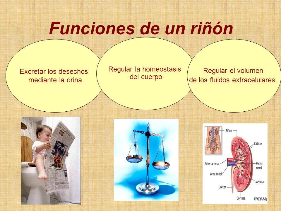 Funciones de un riñón Regular la homeostasis del cuerpo