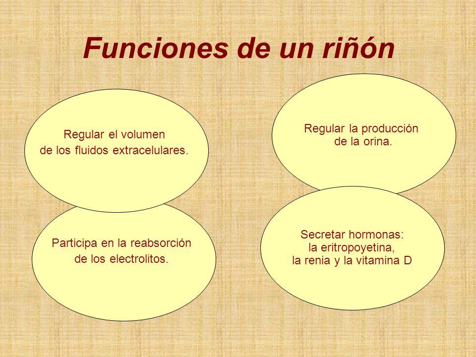 Funciones de un riñón Regular la producción de la orina.