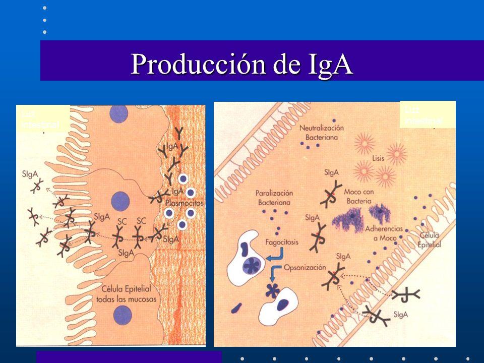 Producción de IgA Luz intestinal Luz intestinal