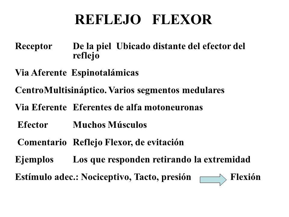 REFLEJO FLEXOR Receptor De la piel Ubicado distante del efector del reflejo. Via Aferente Espinotalámicas.