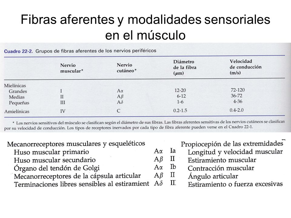Fibras aferentes y modalidades sensoriales en el músculo