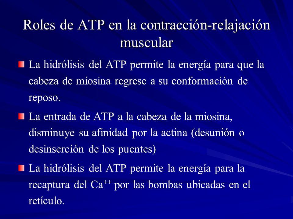 Roles de ATP en la contracción-relajación muscular