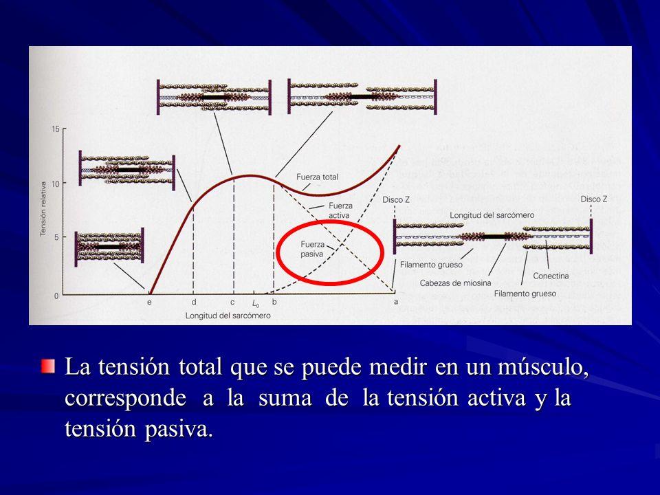 La tensión total que se puede medir en un músculo, corresponde a la suma de la tensión activa y la tensión pasiva.