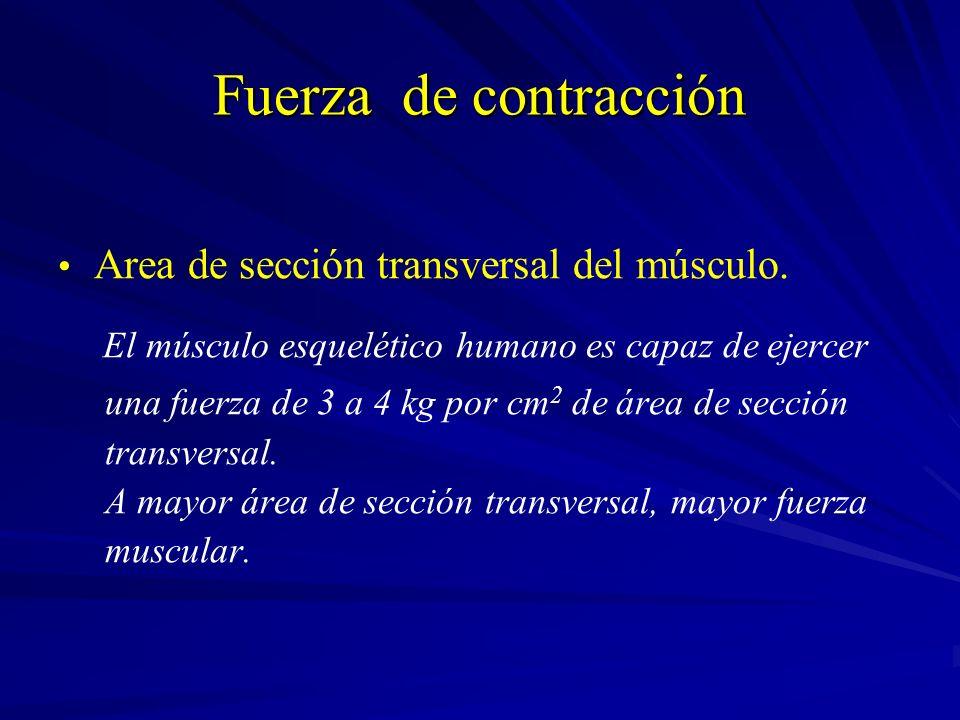 Fuerza de contracción Area de sección transversal del músculo.