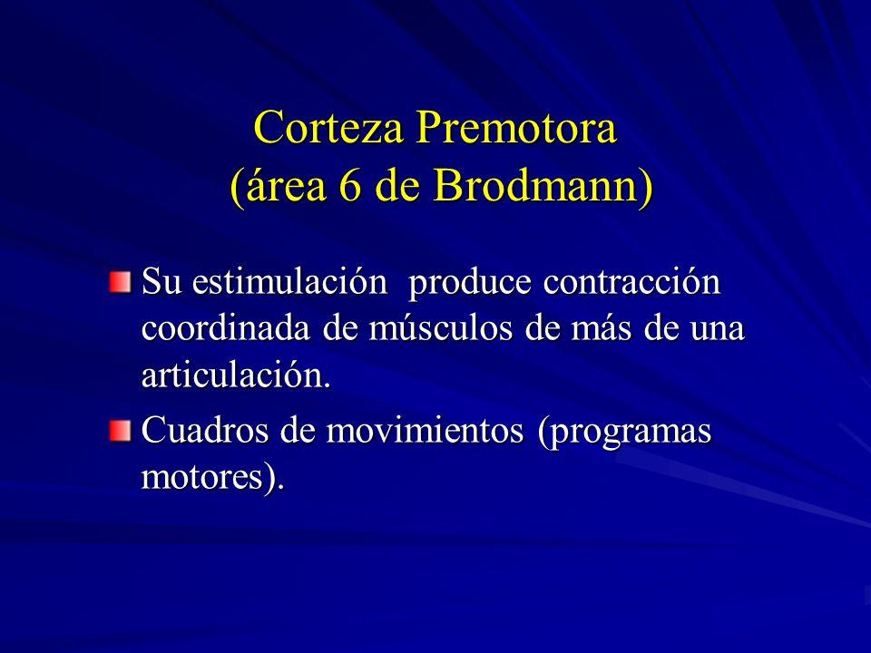 Corteza Premotora (área 6 de Brodmann)