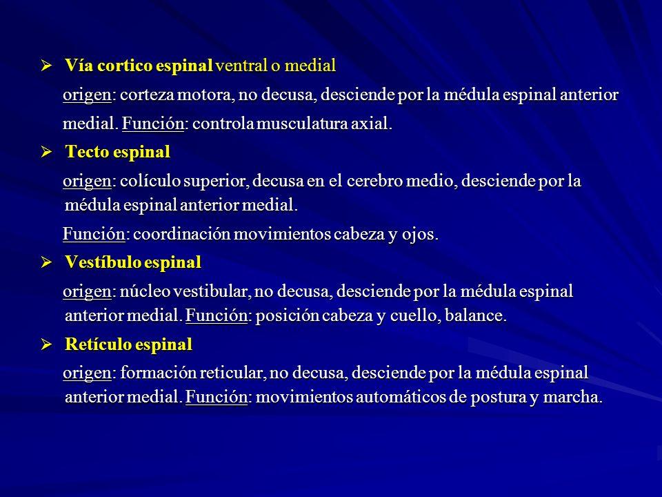 Vía cortico espinal ventral o medial