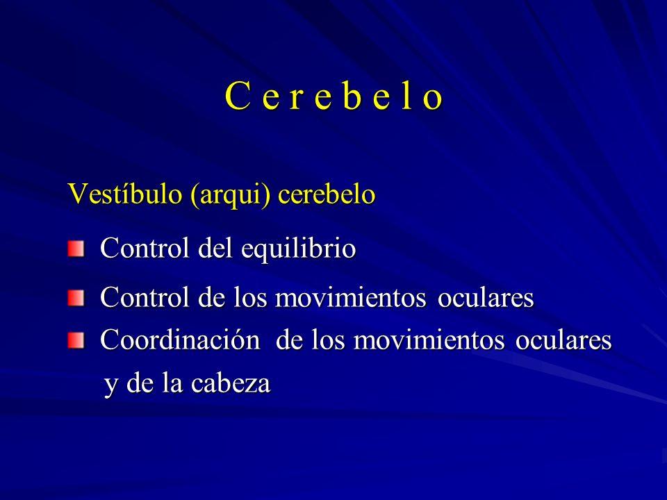 C e r e b e l o Vestíbulo (arqui) cerebelo Control del equilibrio