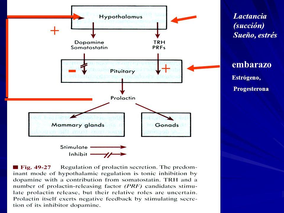 Lactancia (succión) Sueño, estrés + + embarazo Estrógeno, Progesterona