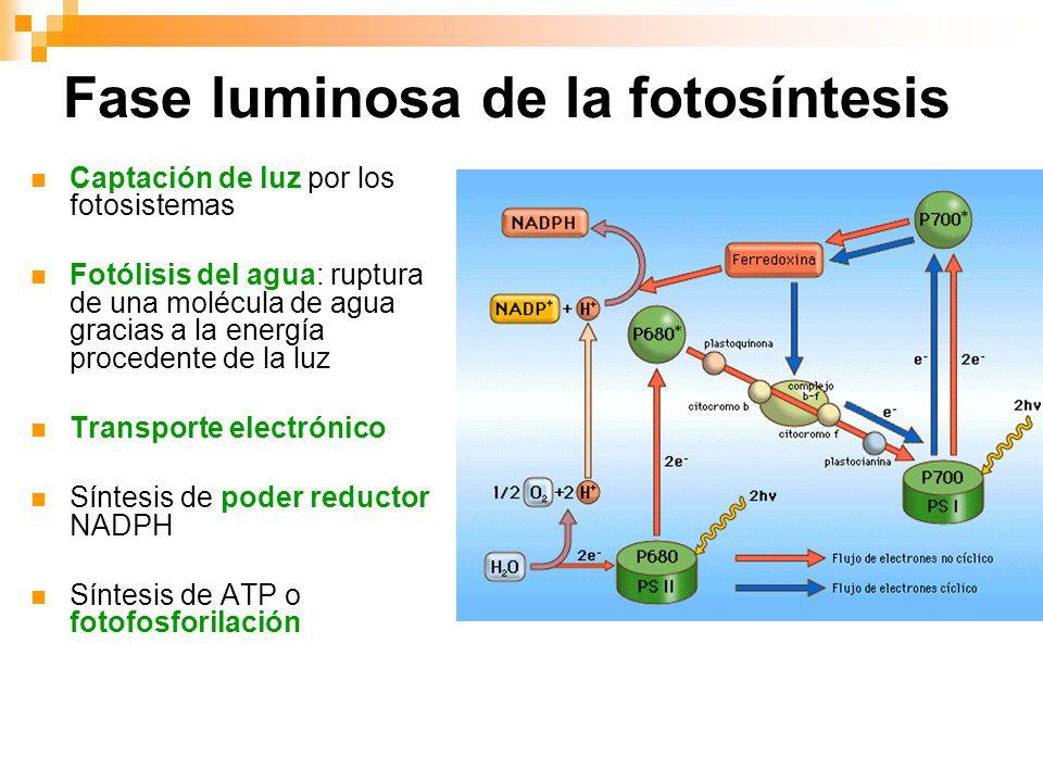 Fases de la fotosintesis wikipedia 70