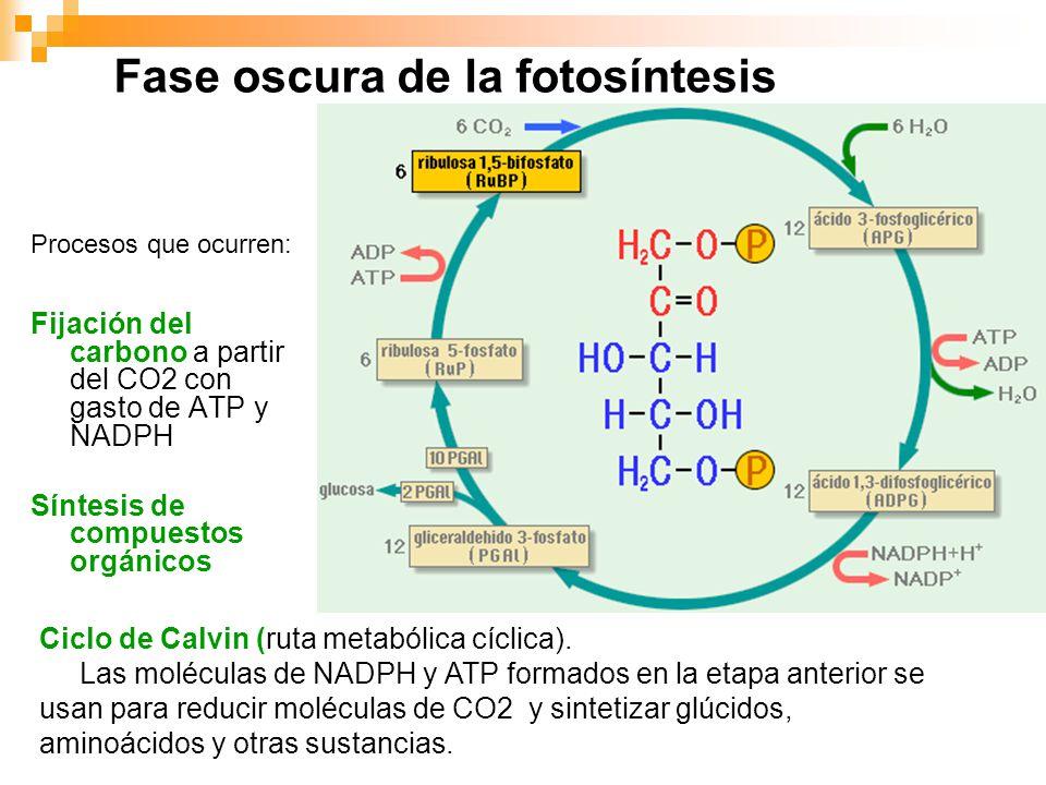 Fases de la fotosintesis wikipedia
