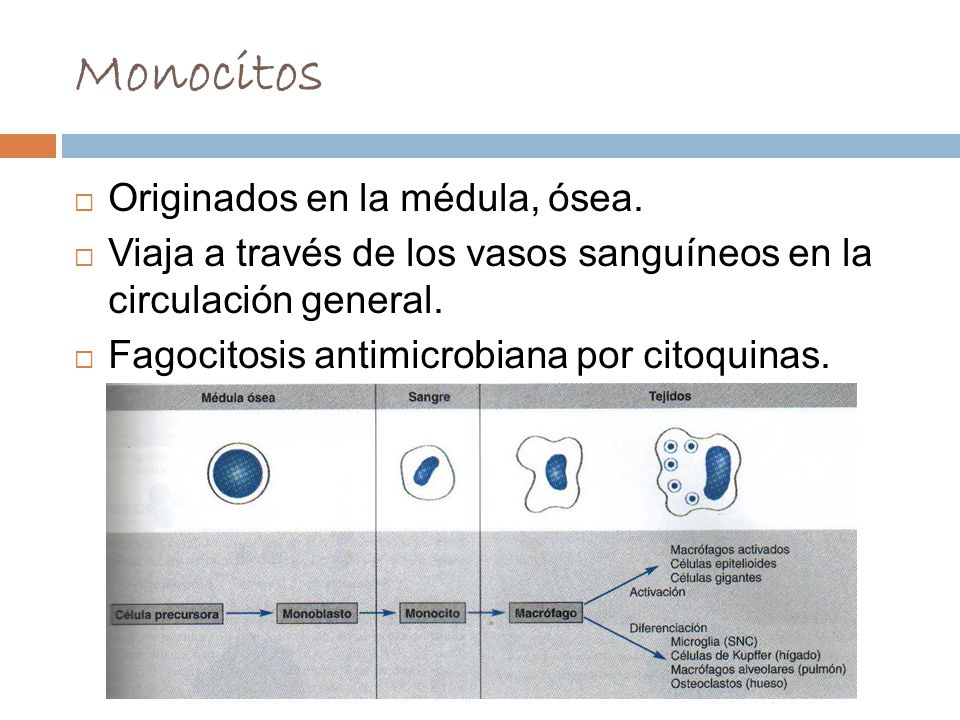 Monocitos Originados en la médula, ósea.