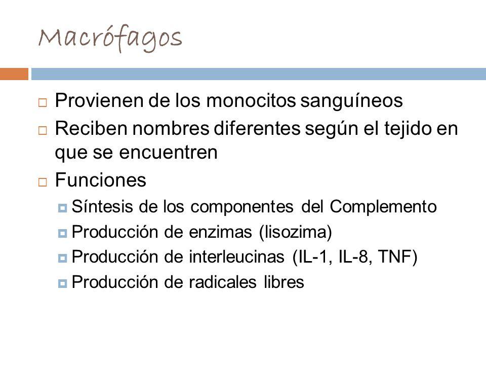 Macrófagos Provienen de los monocitos sanguíneos
