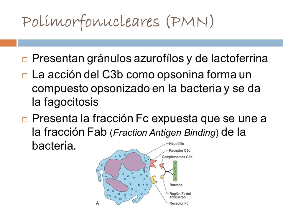 Polimorfonucleares (PMN)