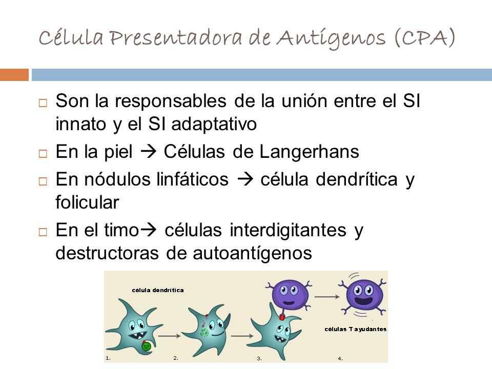 Célula Presentadora de Antígenos (CPA)