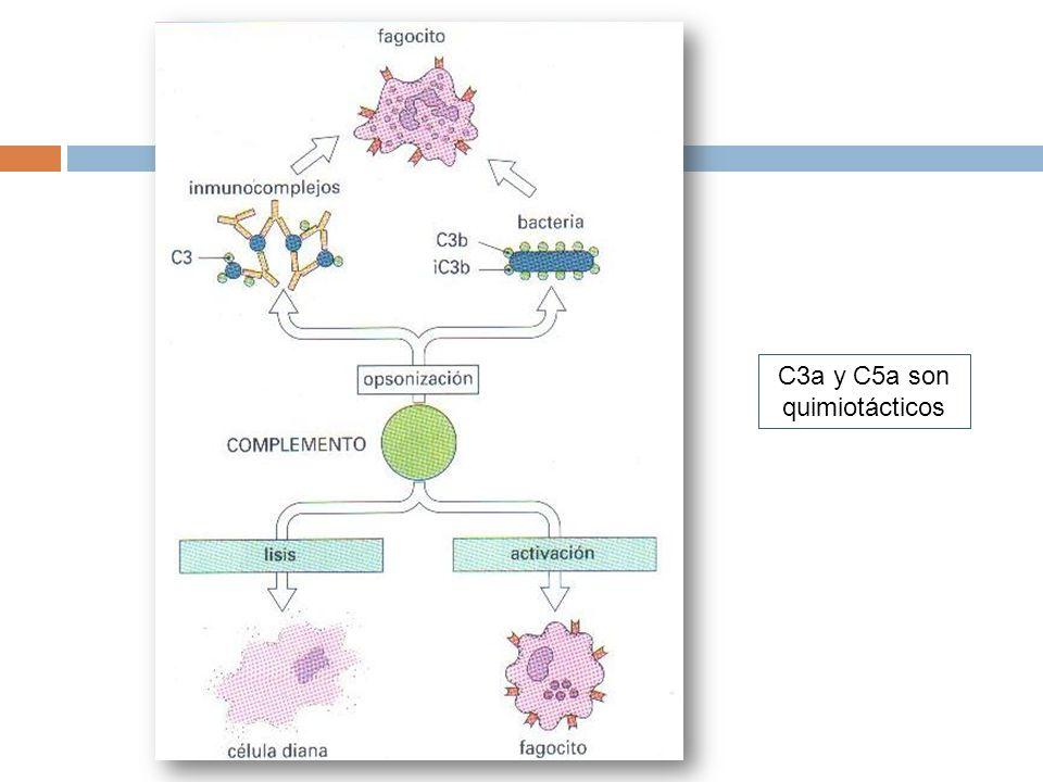 C3a y C5a son quimiotácticos