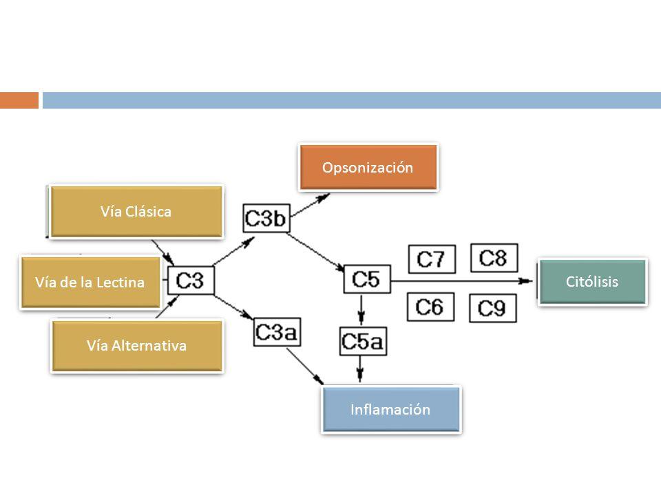 Opsonización Vía Clásica Vía de la Lectina Citólisis Vía Alternativa Inflamación