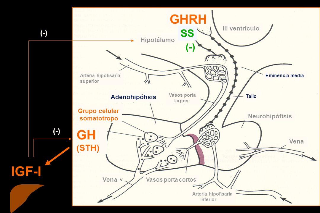 IGF-I GH GHRH SS (STH) (-) III ventrículo Hipotálamo Adenohipófisis