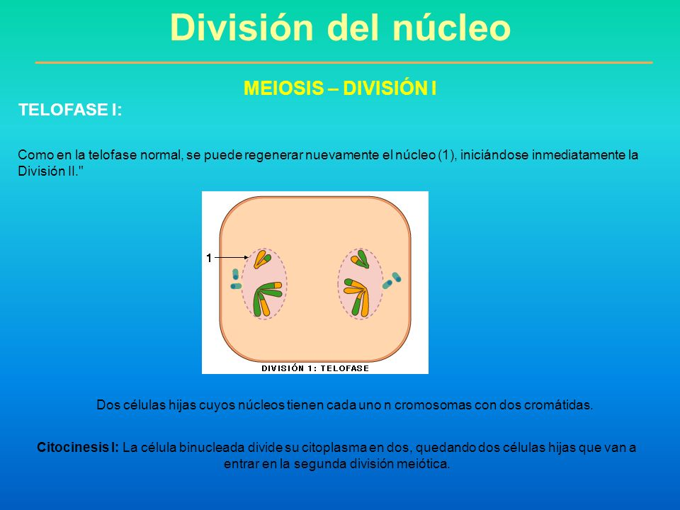 División del núcleo MEIOSIS – DIVISIÓN I TELOFASE I: