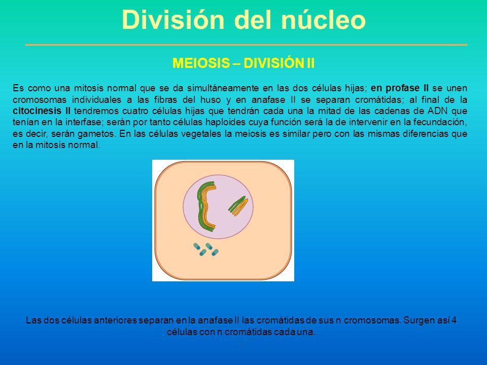 División del núcleo MEIOSIS – DIVISIÓN II