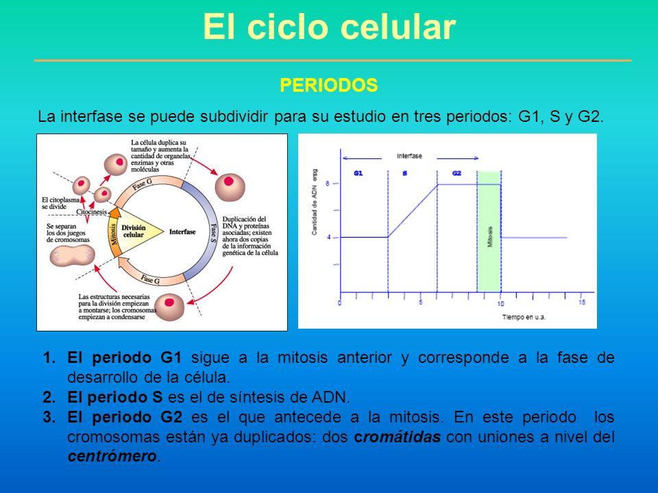 El ciclo celular PERIODOS