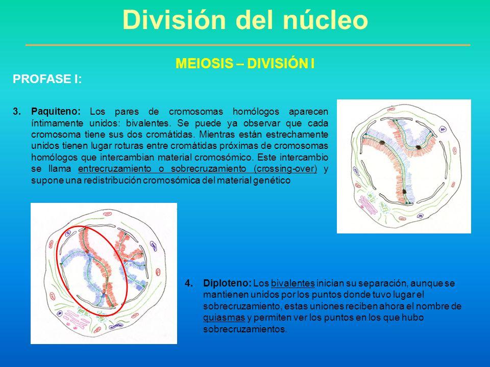 División del núcleo MEIOSIS – DIVISIÓN I PROFASE I: