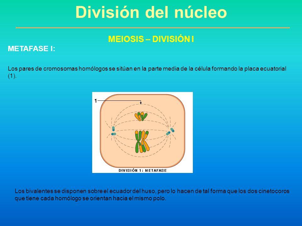 División del núcleo MEIOSIS – DIVISIÓN I METAFASE I: