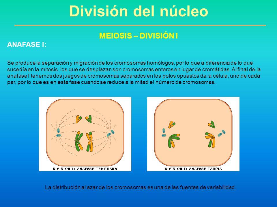 División del núcleo MEIOSIS – DIVISIÓN I ANAFASE I: