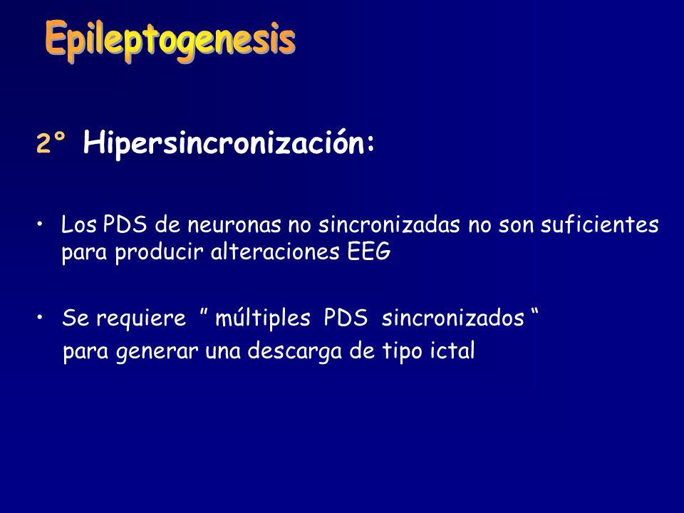 Epileptogenesis 2° Hipersincronización: