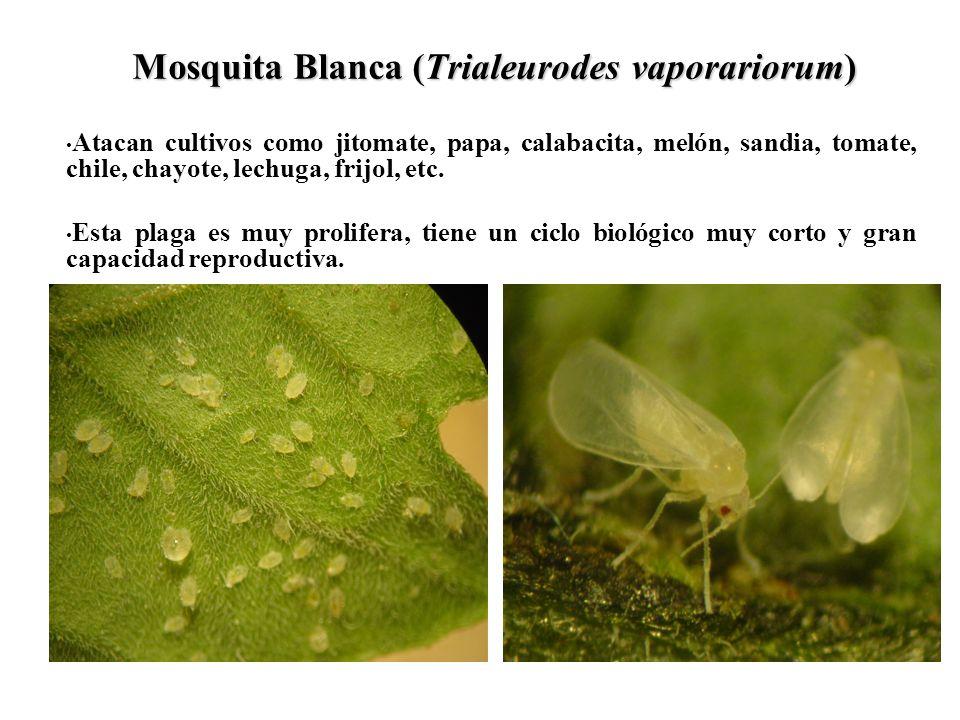 Mosquita Blanca (Trialeurodes vaporariorum)