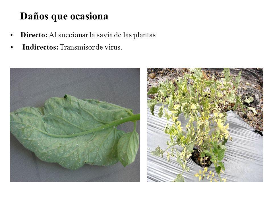 Daños que ocasiona Directo: Al succionar la savia de las plantas.