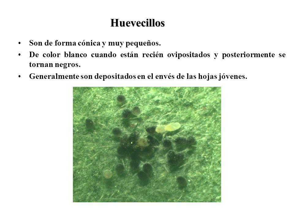 Huevecillos Son de forma cónica y muy pequeños.