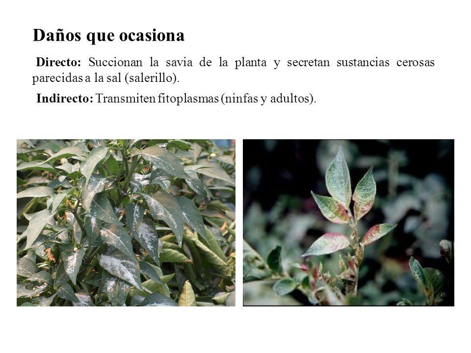 Daños que ocasionaDirecto: Succionan la savia de la planta y secretan sustancias cerosas parecidas a la sal (salerillo).