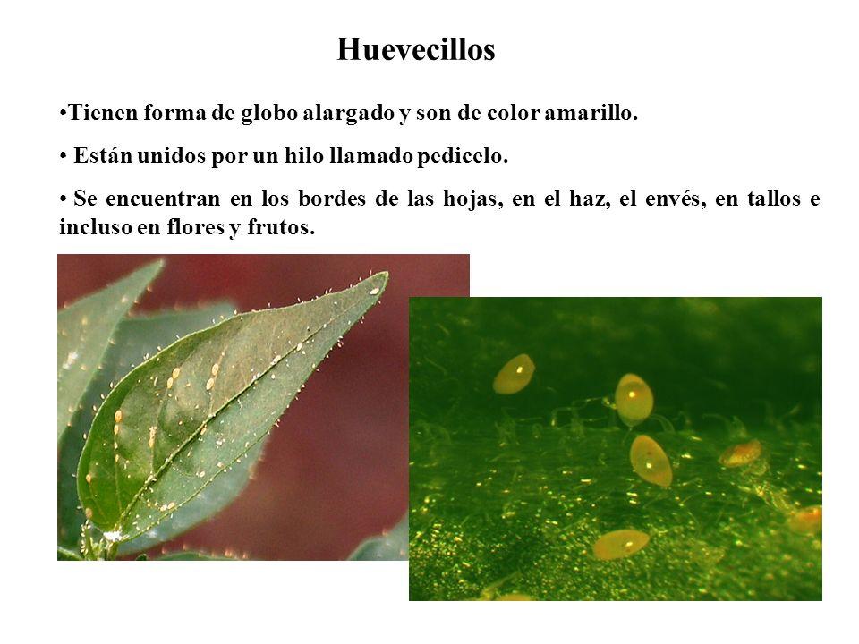 Huevecillos Tienen forma de globo alargado y son de color amarillo.