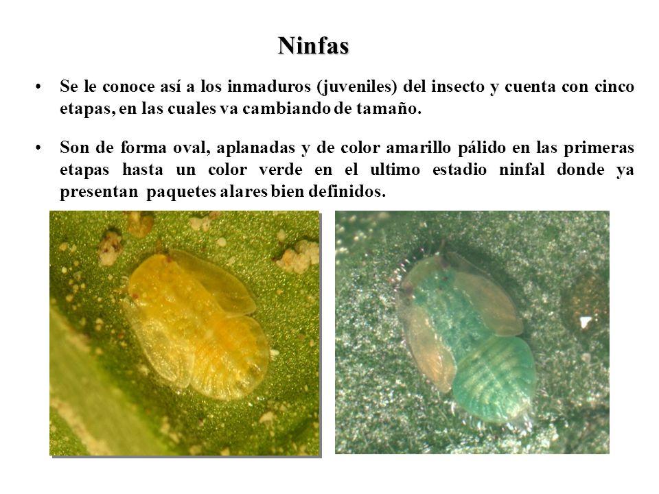 Ninfas Se le conoce así a los inmaduros (juveniles) del insecto y cuenta con cinco etapas, en las cuales va cambiando de tamaño.