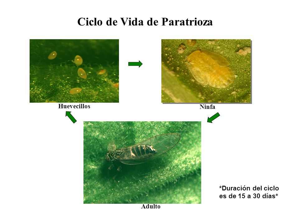 Ciclo de Vida de Paratrioza