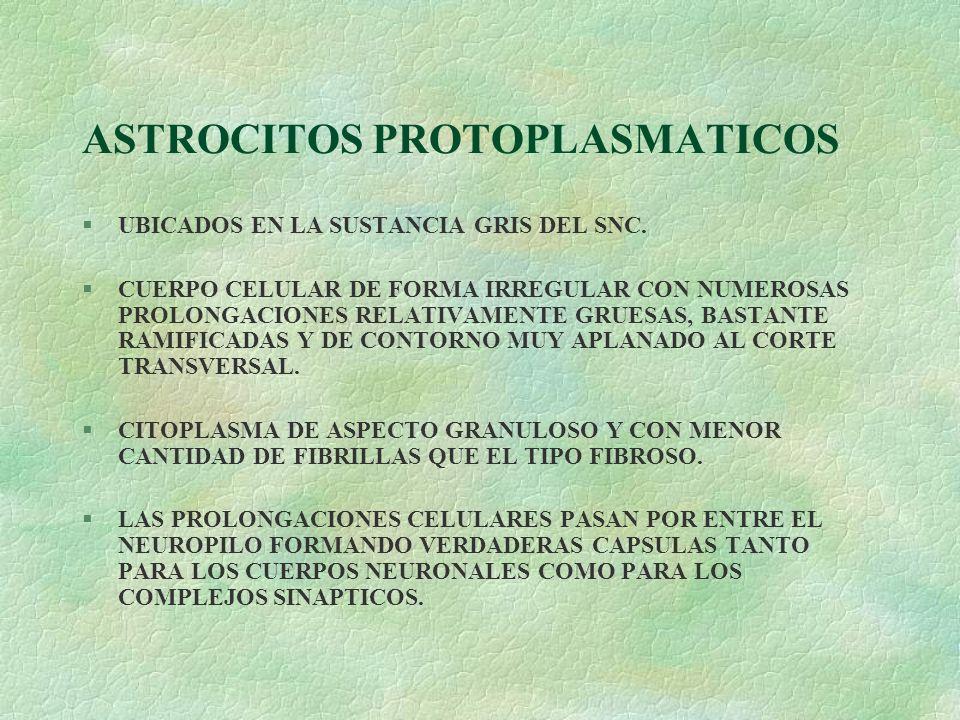 ASTROCITOS PROTOPLASMATICOS