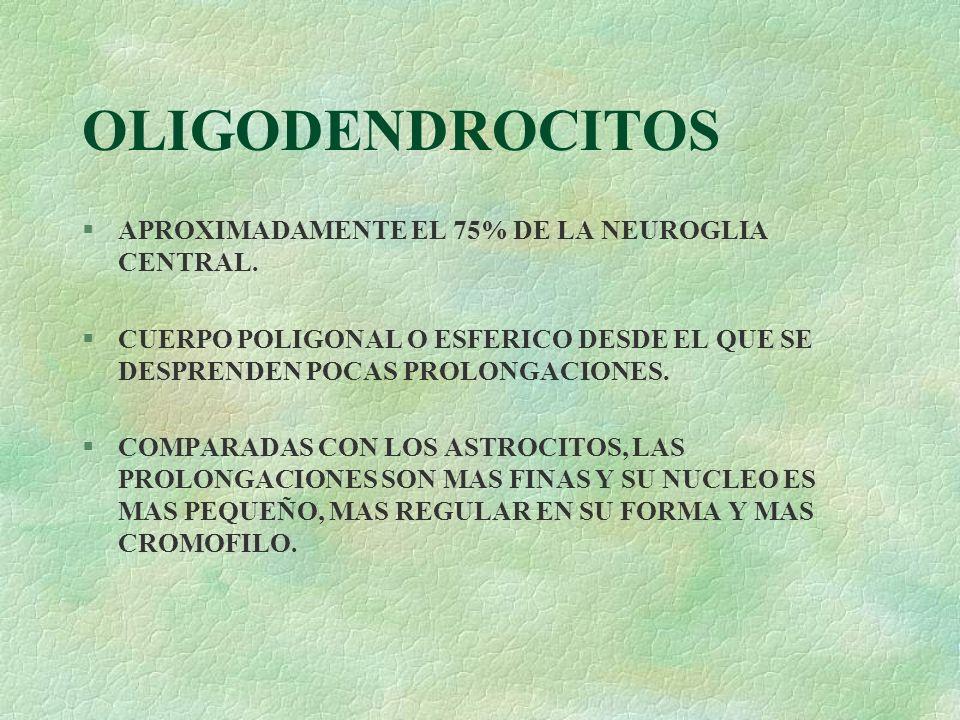 OLIGODENDROCITOS APROXIMADAMENTE EL 75% DE LA NEUROGLIA CENTRAL.